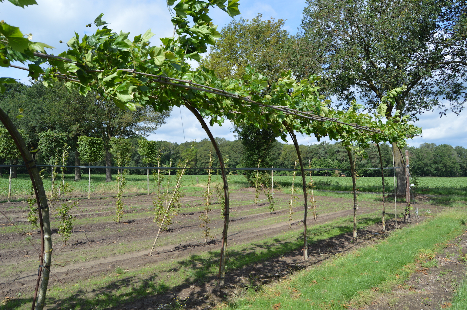 Platanus x acerifolia (London Plane) roof-form trees with curved stems and offset roof