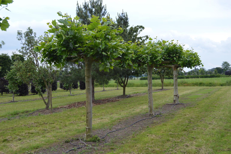Platanus x acerifolia (London Plane) roof trees with large stem girth
