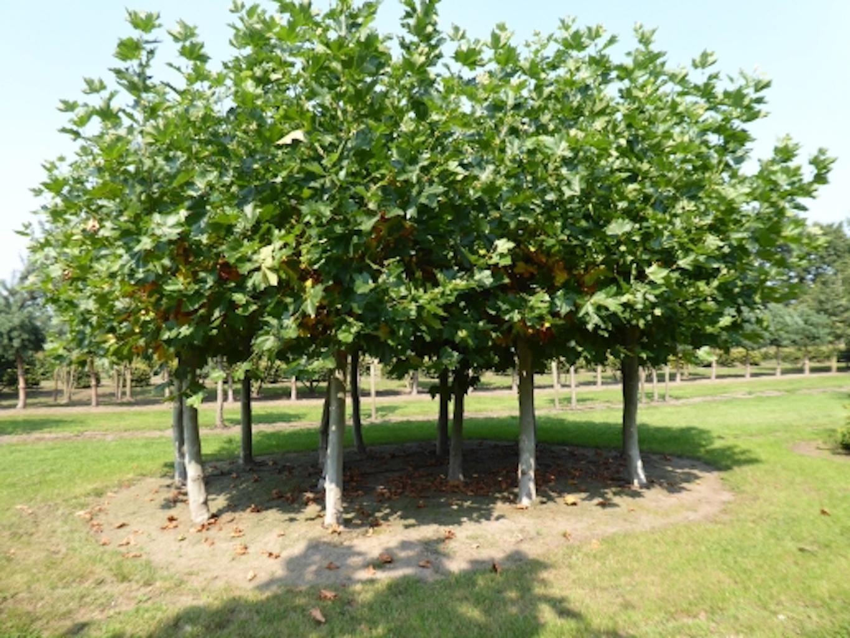 Platanus x acerifolia pollarded 200cm stem 40-45 grade (2)