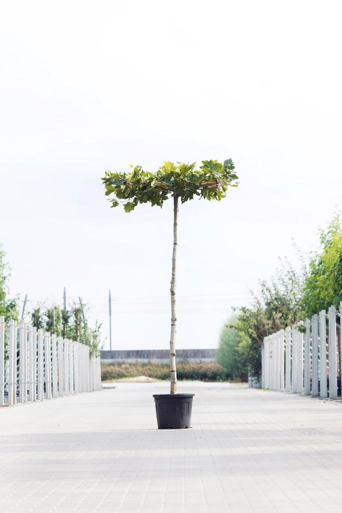 Platanus x acerifolia roof-form 12-14, 230cm clear stem, frame size 120cm x 120cm