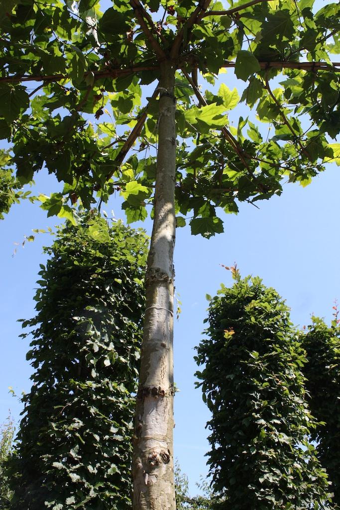 Platanus x hispanica (London Plane) roof form tree, extra high stem