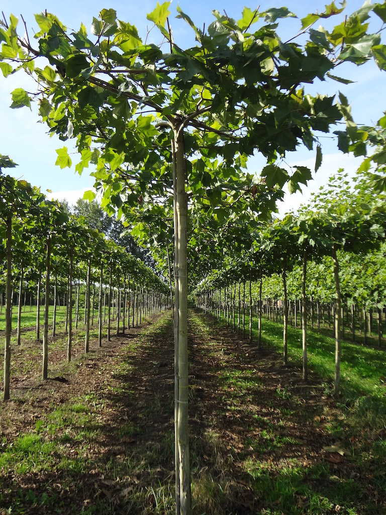 Platanus x hispanica roof form London Plane trees 16-18 grade with high clear stem of 275cm