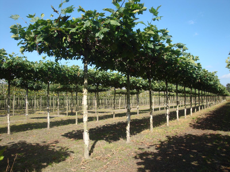 Platanus x hispanica roof form London Plane trees 20-25 grade