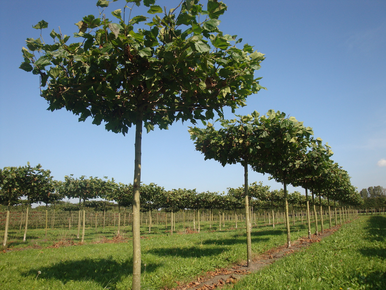 Platanus x hispanica roof form London Plane trees 25-30 grade