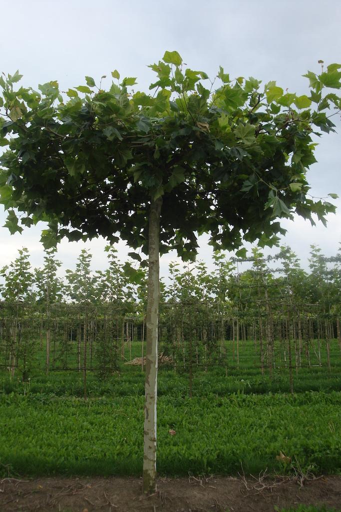 Platanus x hispanica roof form London Plane trees 40-45 grade specimens