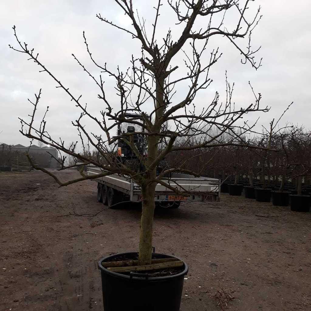 Plum - Prunus domestica 'Opal' 20-30 C130 225-250cm