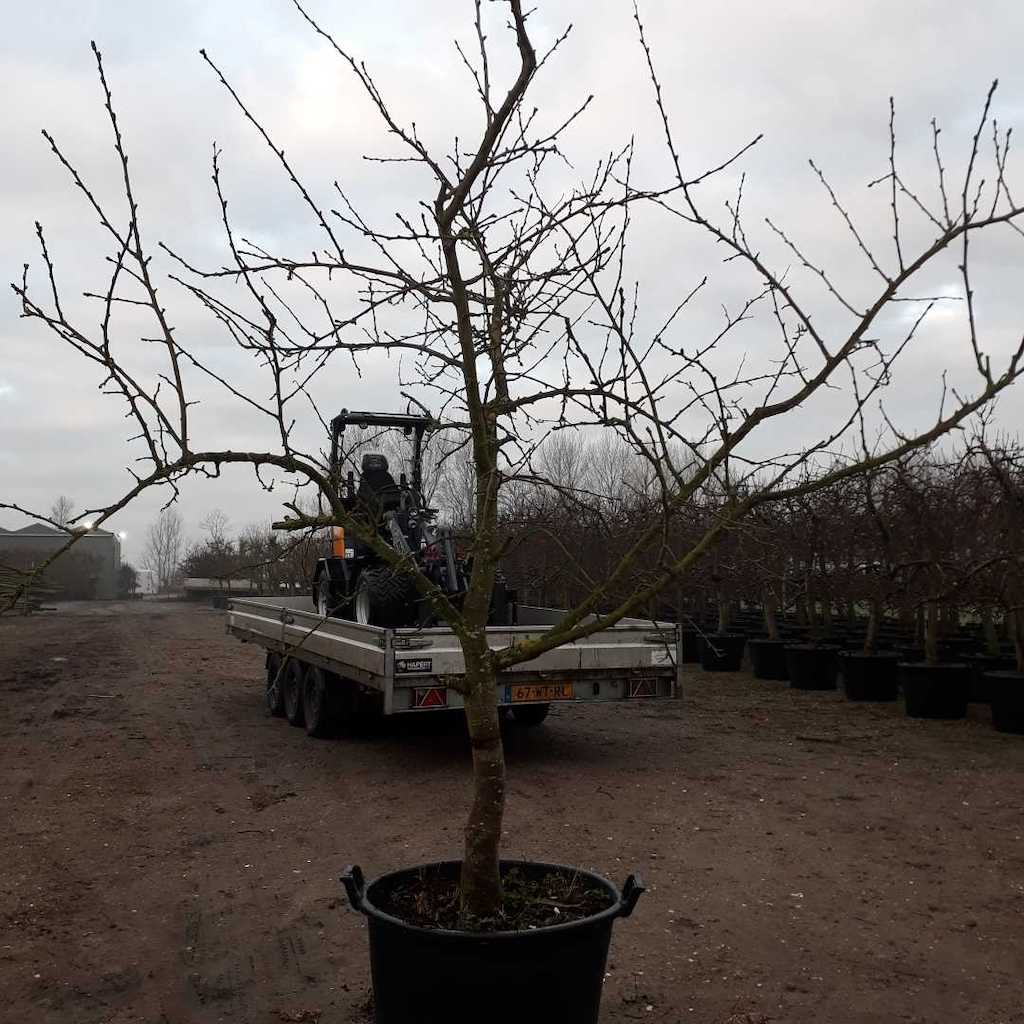Plum - Prunus domestica 'Victoria' 20-30 C130