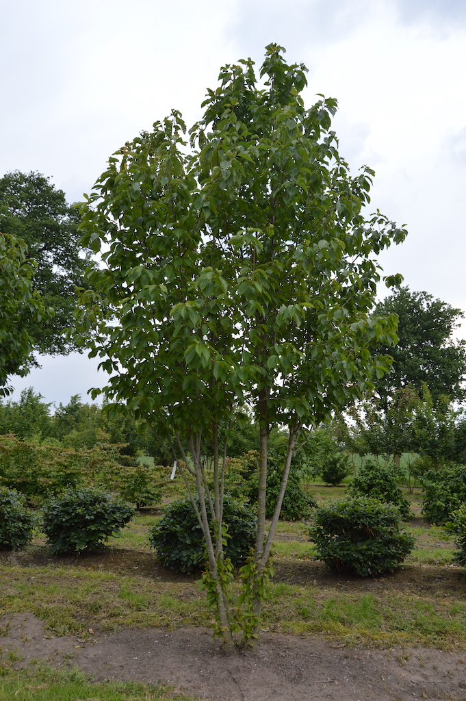 Prunus avium 'Colt' multi-stem tree