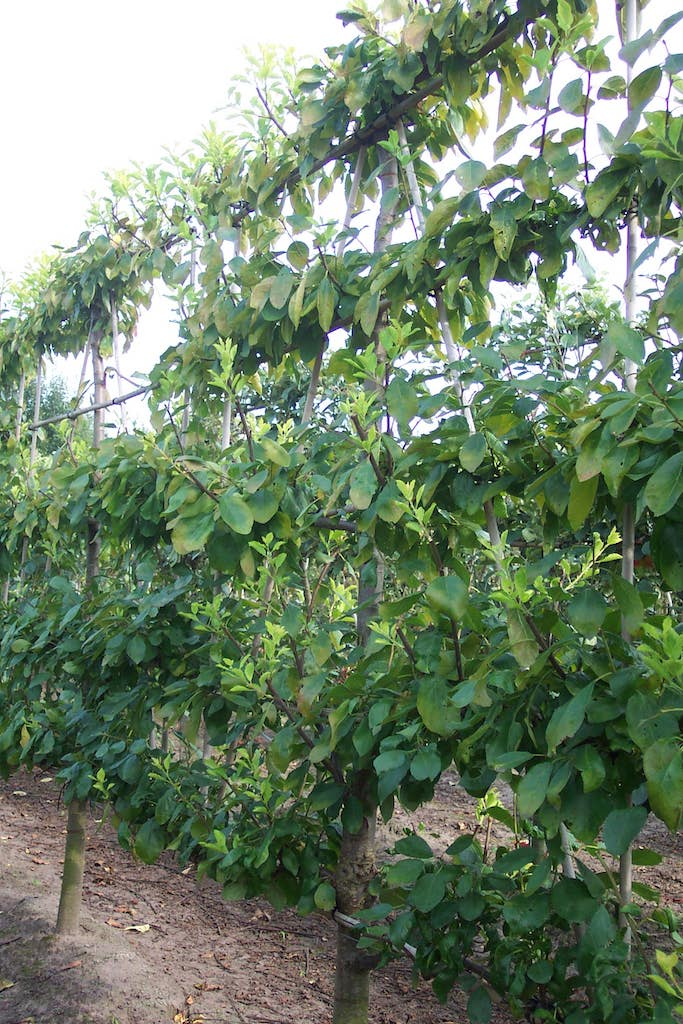 Prunus domestica 'Opal' low espalier pleached plum tree 16-18 grade