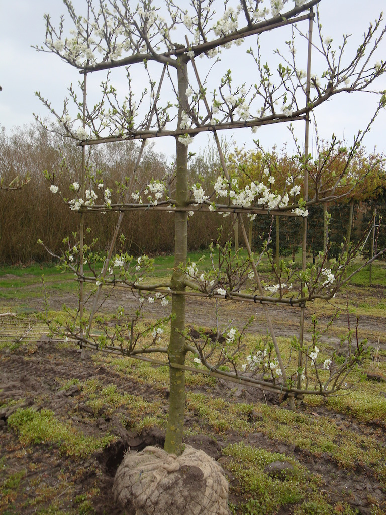 Prunus domestica 'Opal' low espalier pleached plum tree 18-20 grade with spring flowers