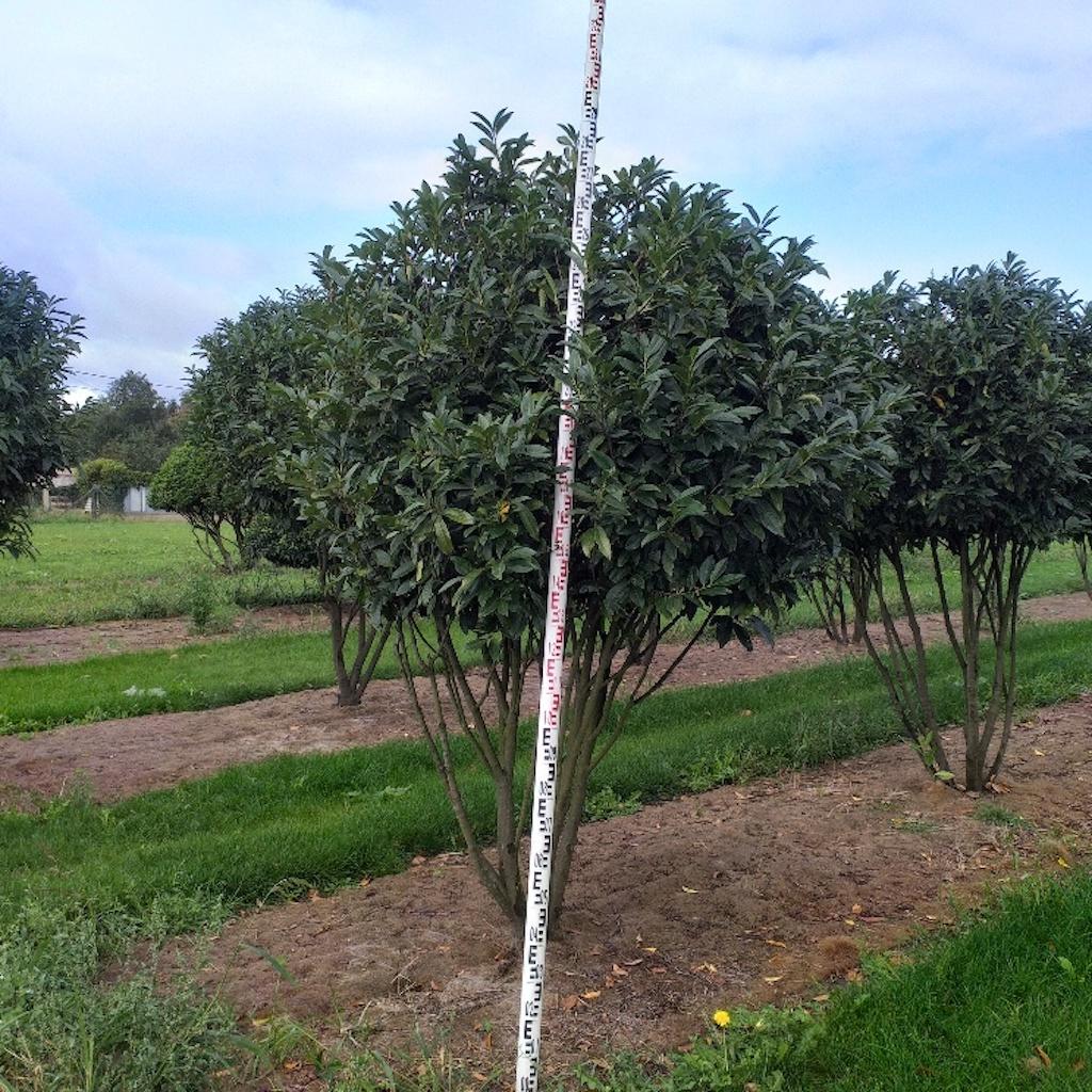Prunus l 'Reynvaani' multi-stem 250-300cm tall, diameter 180-200cm+ (1)