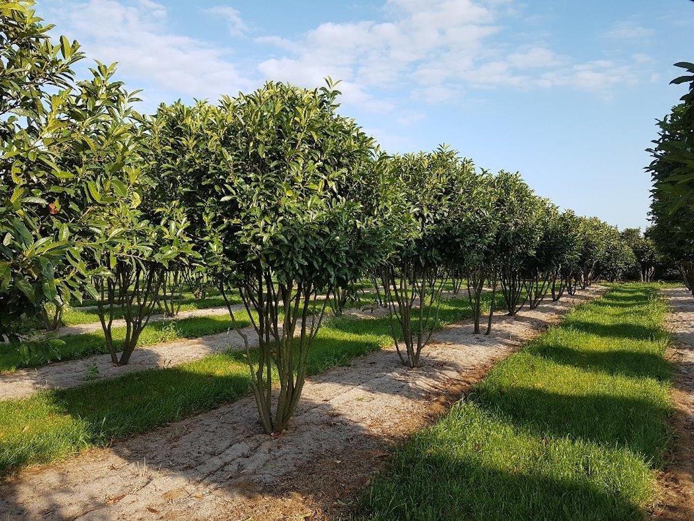 Prunus l 'Reynvaani' multi-stem 250-300cm tall, diameter 180-200cm+ (2)
