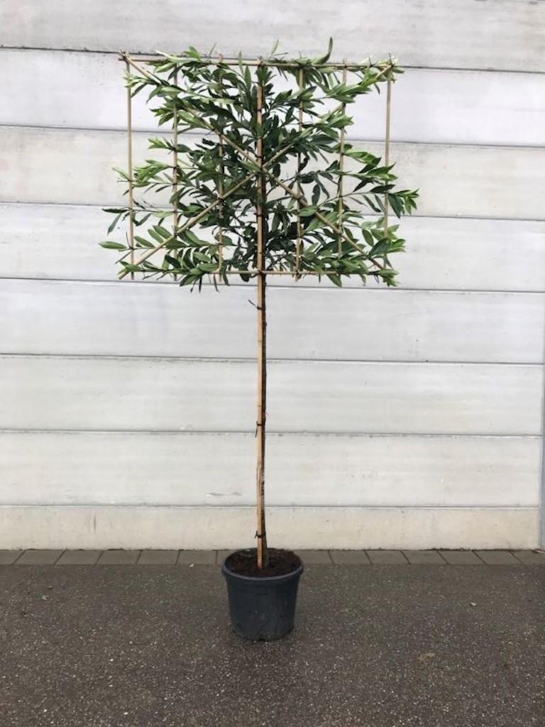 Prunus laurocerasus 'Caucasica' pleached 10-12 grade, 180cm clear stem