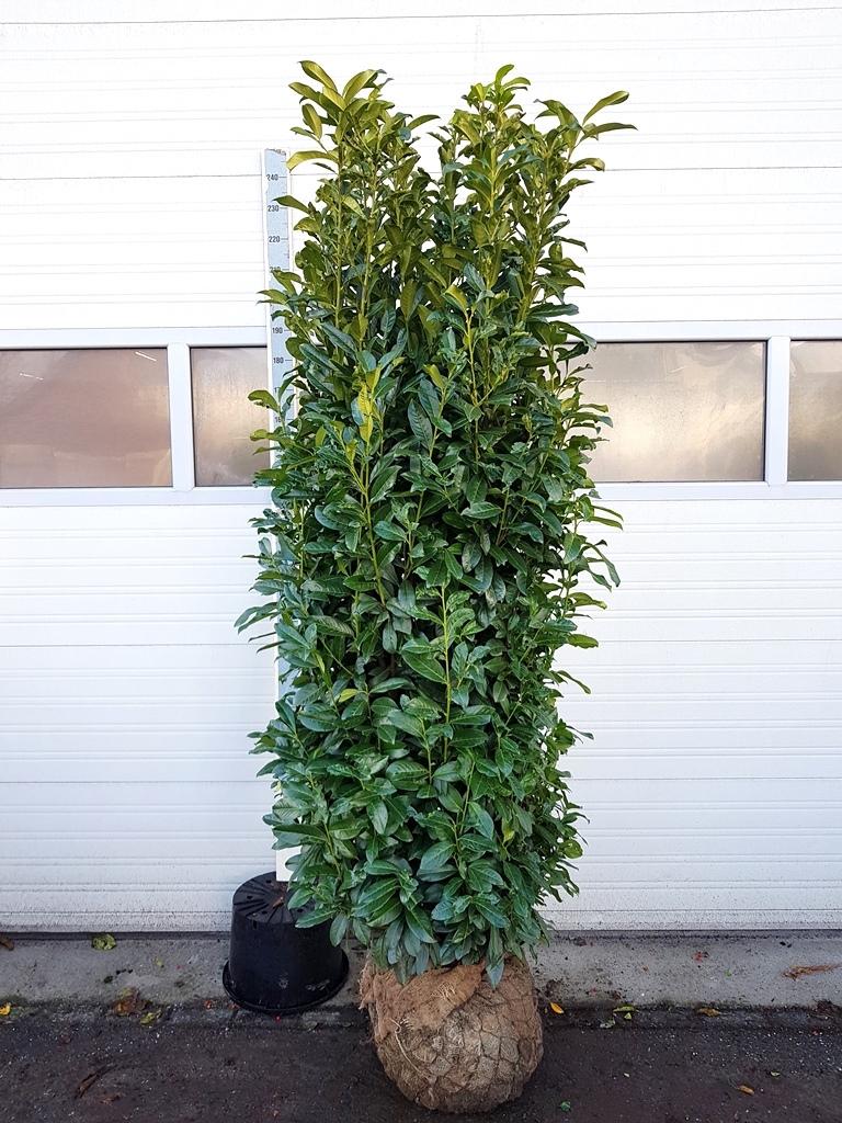 Prunus laurocerasus 'Genolia' 200-225cm Ø 60-70cm