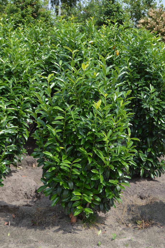 Prunus laurocerasus 'Genolia' hedge plants