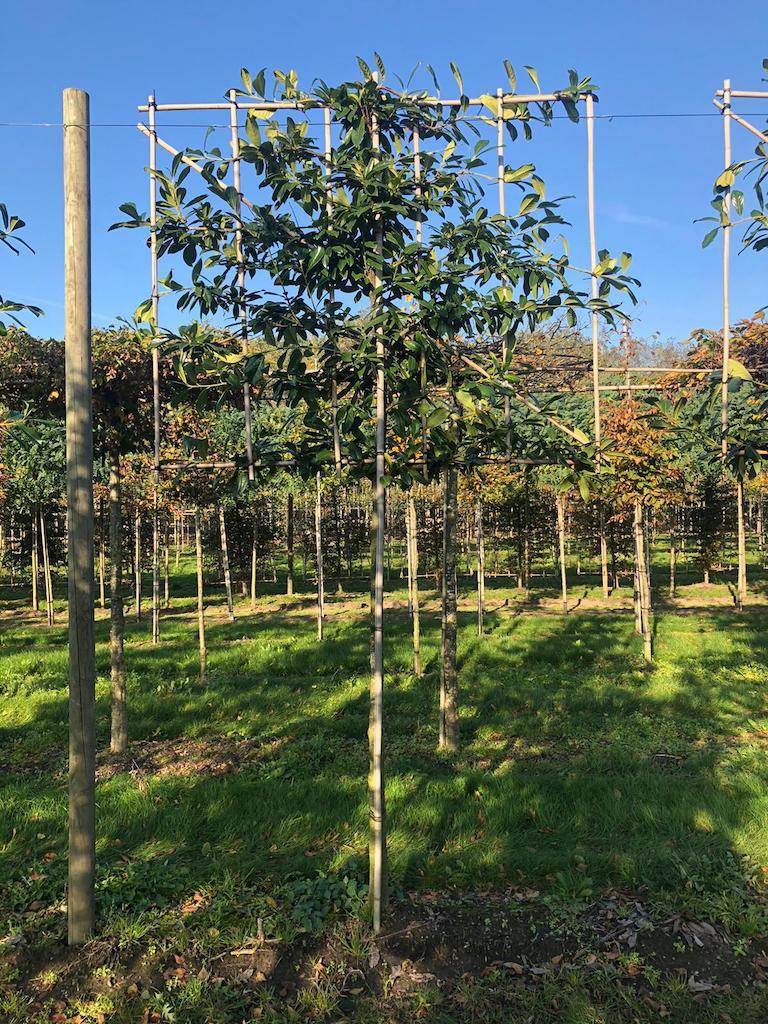 Prunus laurocerasus 'Novita' pleached 16-18, 180cm clear stem, frame 180cm wide x 150cm high