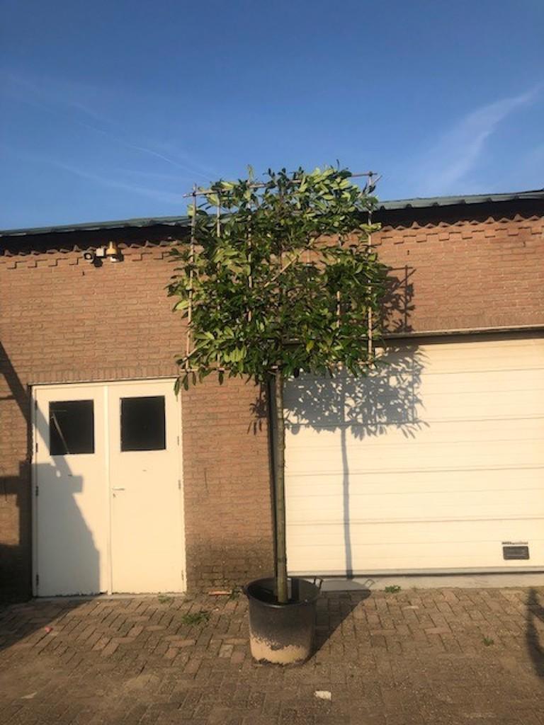 Prunus laurocerasus 'Novita' pleached, 180cm clear stem, frame size 150cm x 150cm