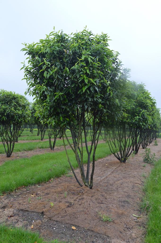 Prunus laurocerasus 'Reynvaannii' multi-stems