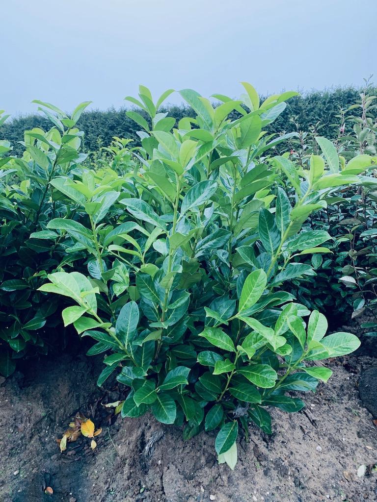 Prunus laurocerasus 'Rotundifolia' 100-125cm