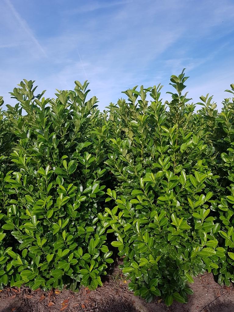 Prunus laurocerasus 'Rotundifolia' 200-225cm (1)