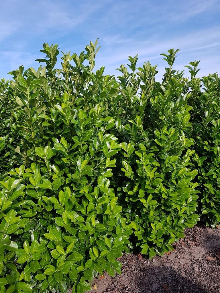 Prunus laurocerasus 'Rotundifolia' 200-225cm (2)