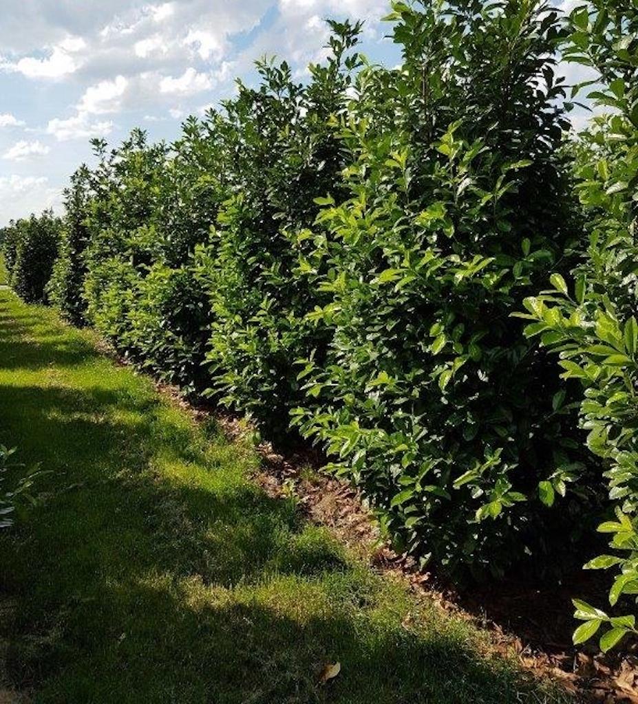 Prunus laurocerasus 'Rotundifolia' 250-300cm