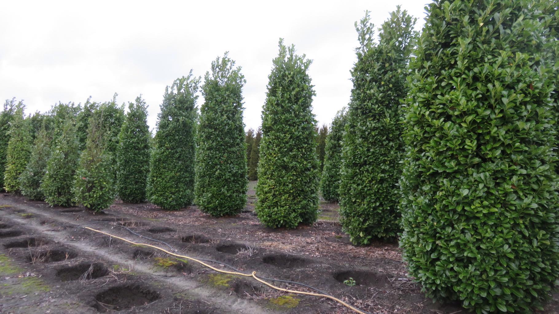 Prunus laurocerasus 'Rotundifolia' 400-450cm, 125-140cm wide