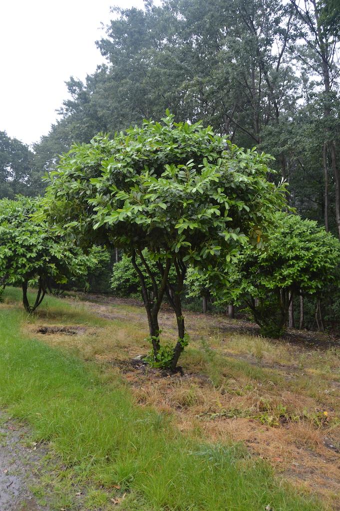 Prunus laurocerasus 'Rotundifolia' multi-stem