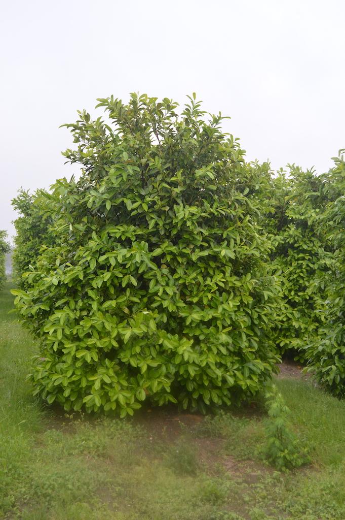 Prunus laurocerasus 'Rotundifolia' specimen