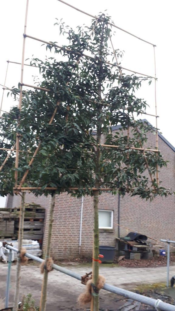 Prunus lusitanica 'Angustifolia' pleached trees 12-14-16 grade, 170cm clear stem, frame size 150cm wide x 160cm high (1)