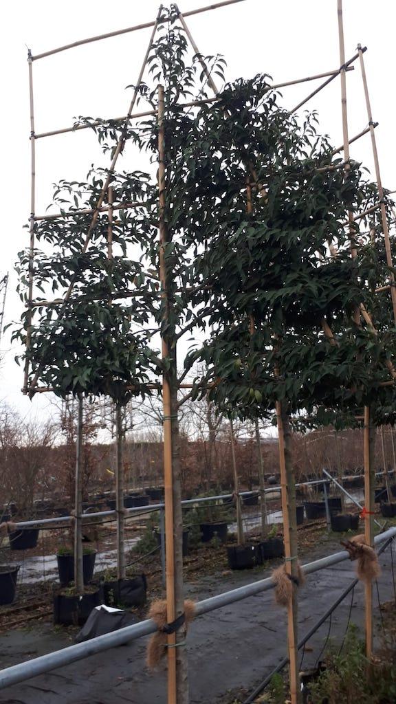 Prunus lusitanica 'Angustifolia' pleached trees 12-14-16 grade, 170cm clear stem, frame size 150cm wide x 160cm high (2)