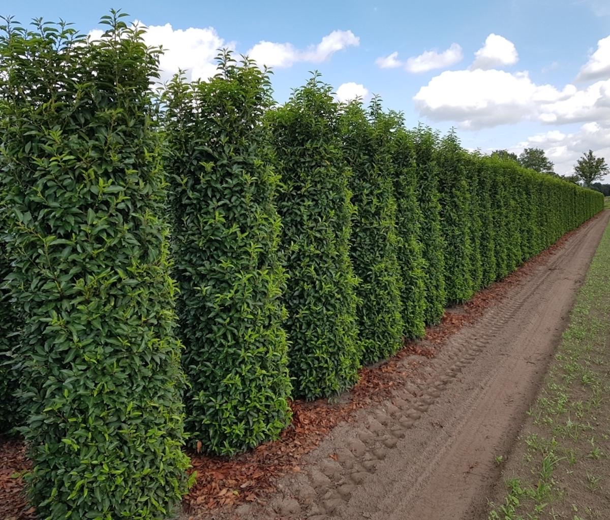 Prunus lusitanica 'Angustifolia' 225-250cm hedge plants (Portuguese Laurel)