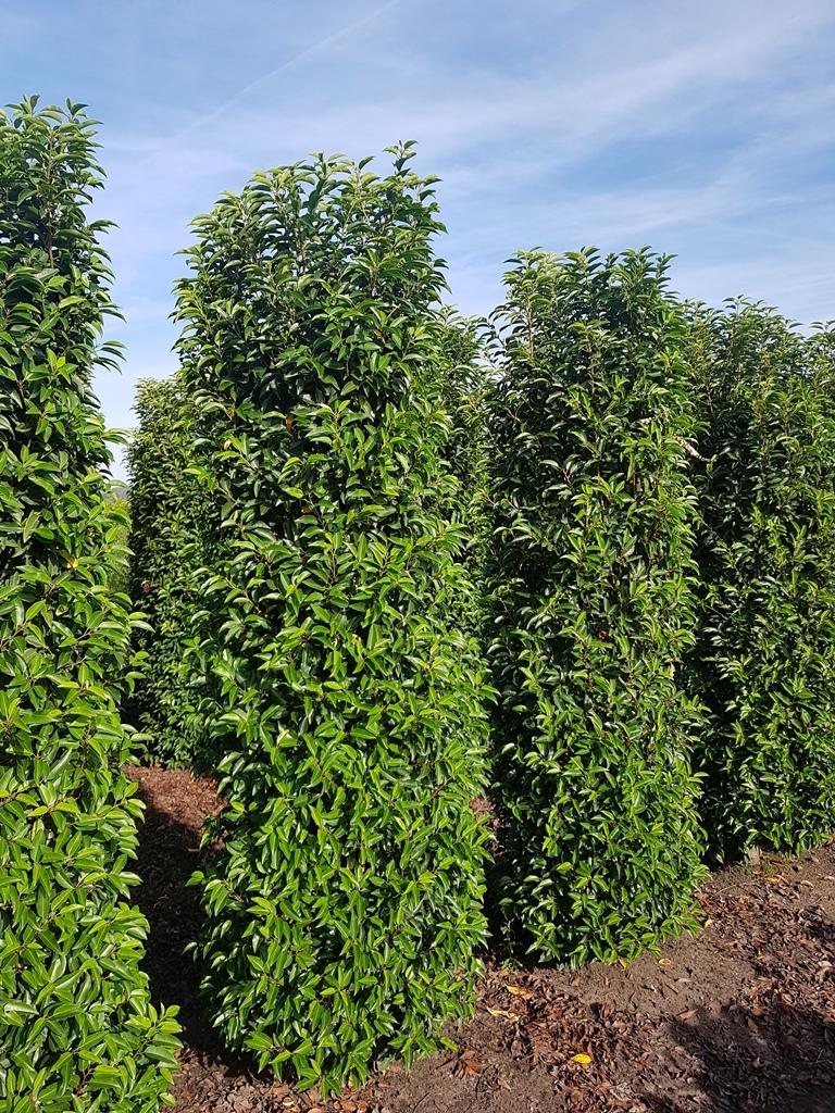 Prunus lusitanica 'Angustifolia' 225-250cm