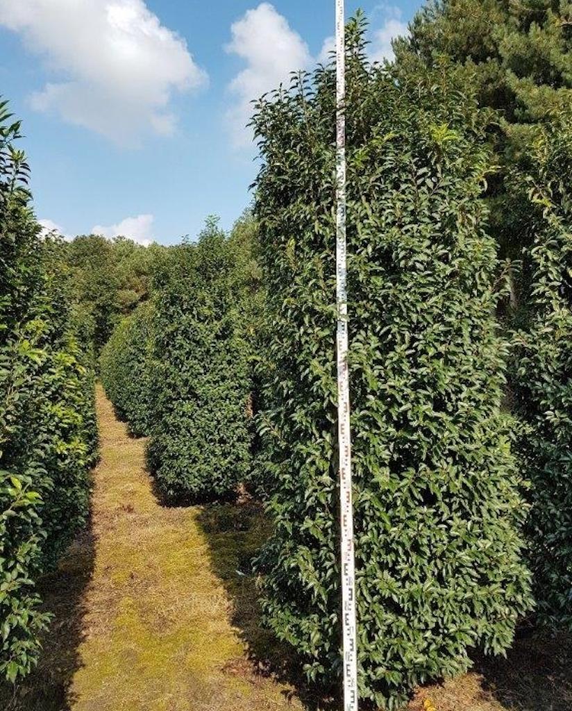 Prunus lusitanica 'Angustifolia' 300-350cm tall, 100-120cm wide