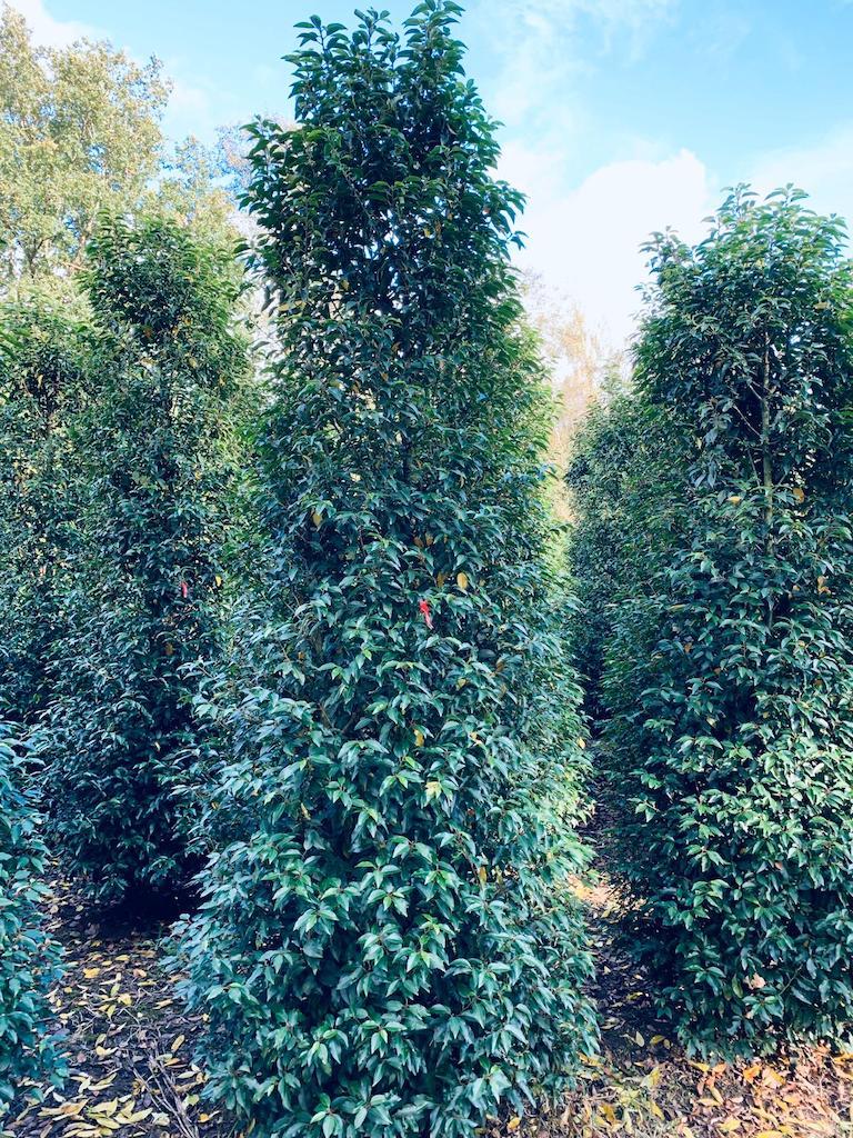 Prunus lusitanica 'Angustifolia' 300-350cm