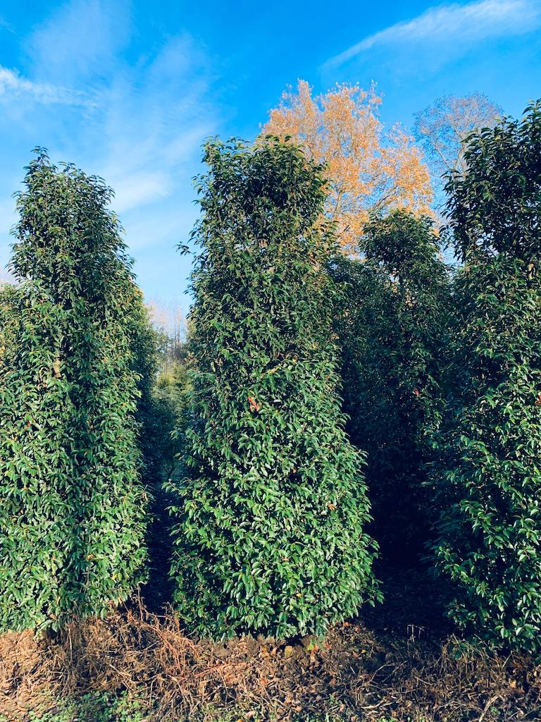 Prunus lusitanica 'Angustifolia' Portuguese Laruel hedge plants 300-350cm