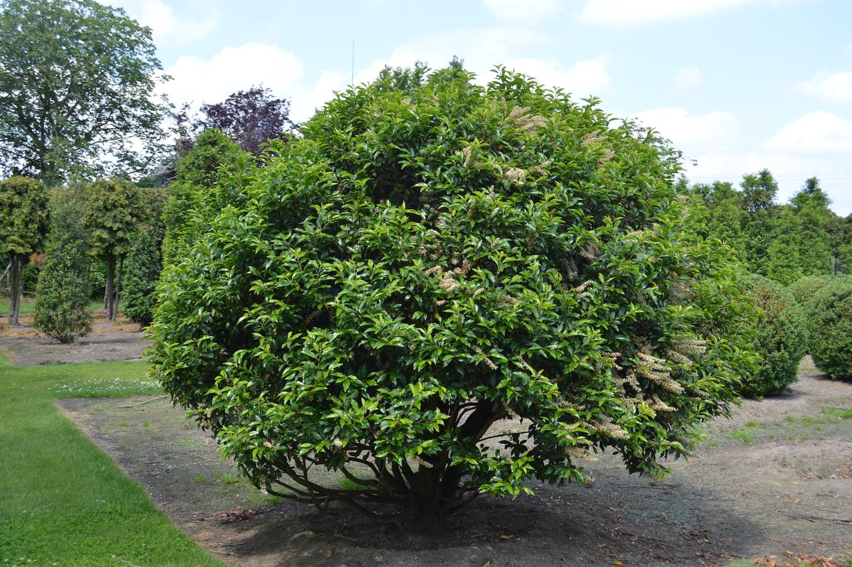 Prunus lusitanica 'Angustifolia' (Portuguese Laurel) extra large multi-stem ball