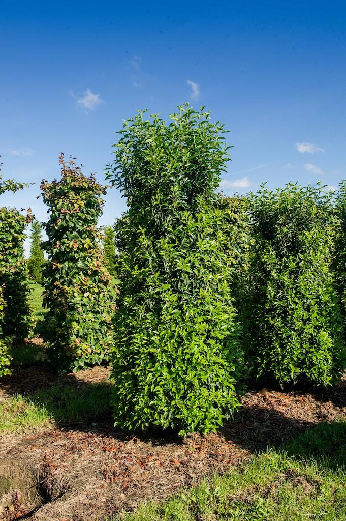 Prunus lusitanica 'Angustifolia' (Portuguese Laurel) hedge plants