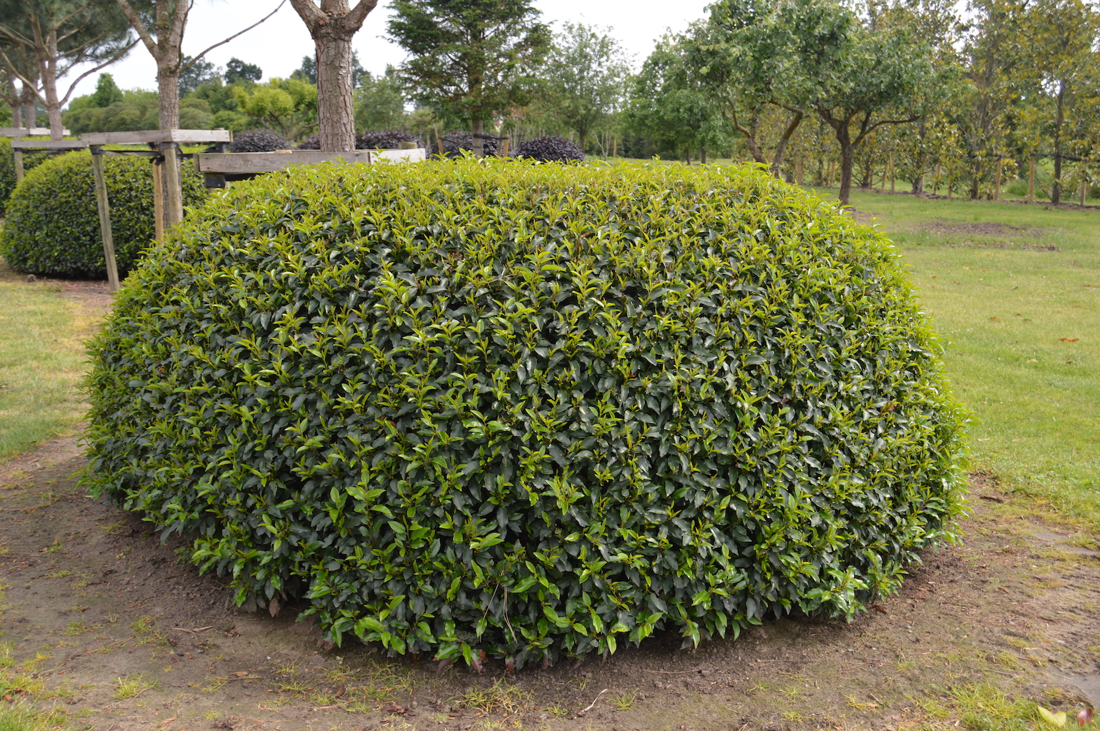 Prunus lusitanica 'Angustifolia' ball or dome 250cm diameter (1)