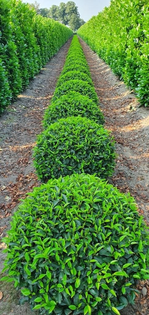 Prunus lusitanica 'Angustifolia' balls 70cm