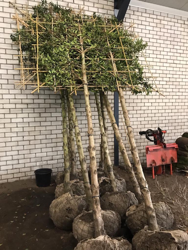Prunus lusitanica 'Angustifolia' freshly pleached 20-25, 180-190cm clear stem, frame size 150cm x 150cm (1)