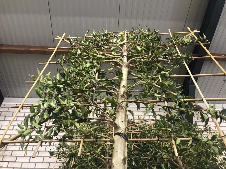 Prunus lusitanica 'Angustifolia' freshly pleached 20-25, 180-190cm clear stem, frame size 150cm x 150cm (2)