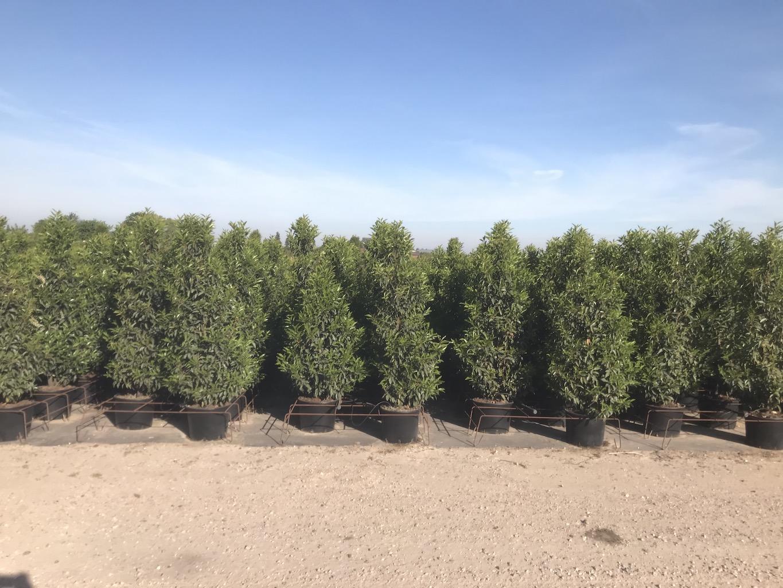 Prunus lusitanica 'Angustifolia' hedge plants 150cm 20 ltre pots