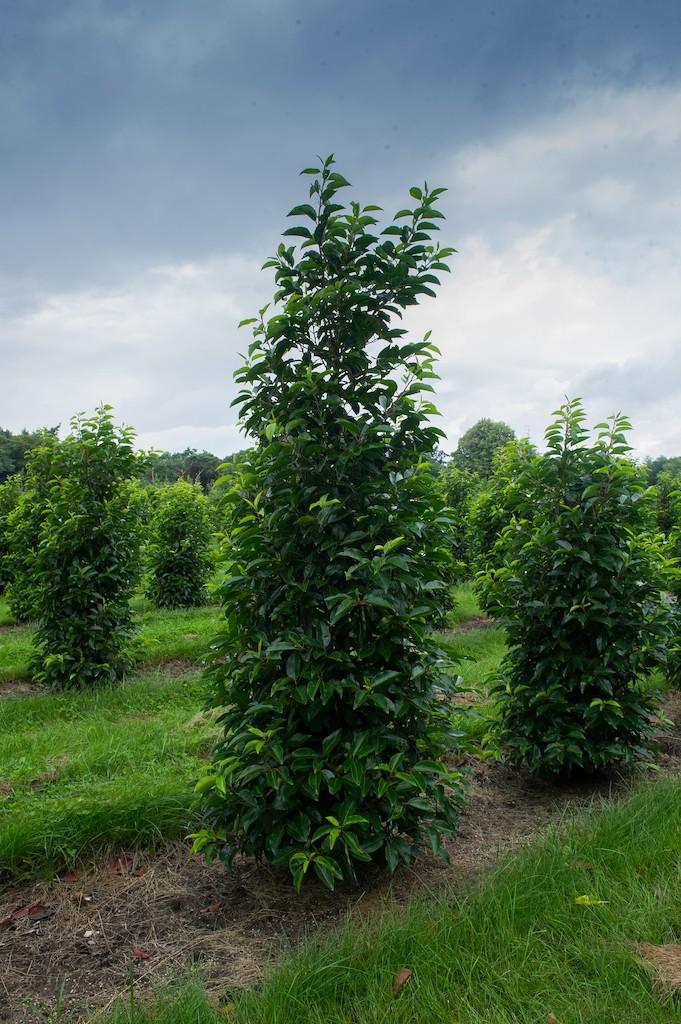 Prunus lusitanica 'Angustifolia' hedge plants