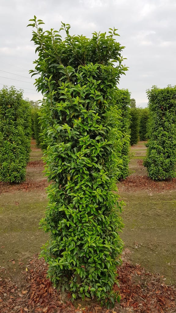 Prunus lusitanica 'Angustifolia' instant hedge plants 190-200cm x 50cm x 50cm (1)