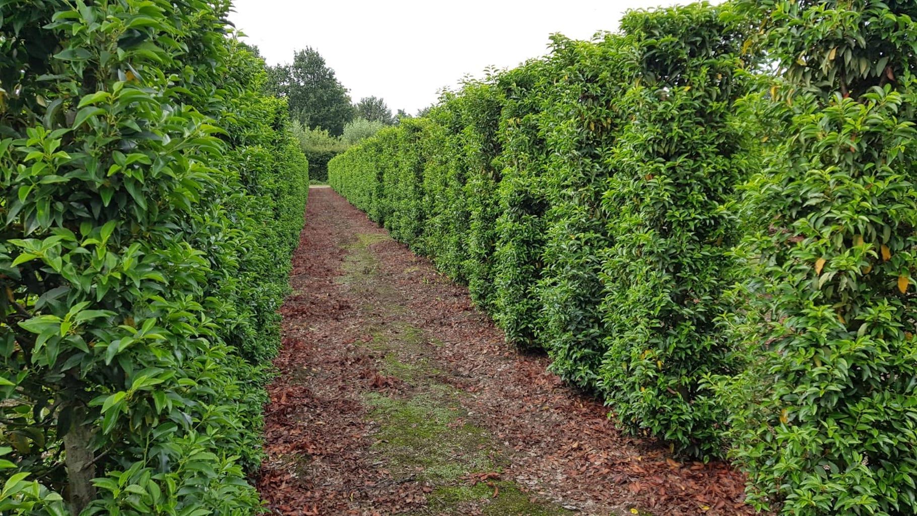 Prunus lusitanica 'Angustifolia' instant hedge plants 190-200cm x 50cm x 50cm (2)