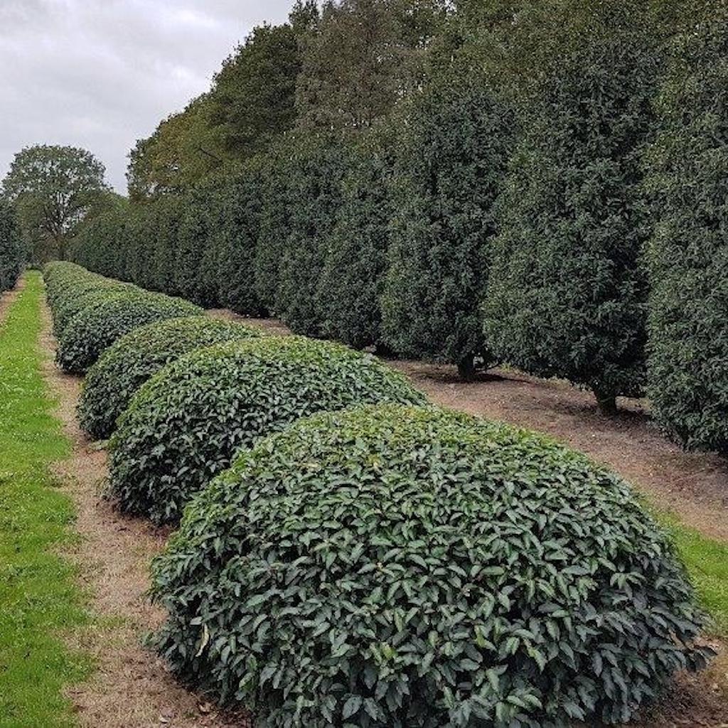 Prunus lusitanica 'Angustifolia' low dome 180-200cm diameter