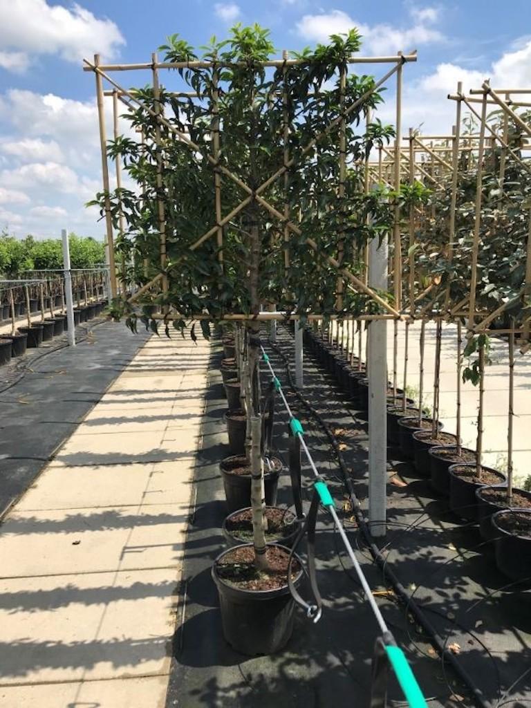 Prunus lusitanica 'Angustifolia' pleached 10-12 grade, 110cm clear stem, frame size 120cm (w) x 100cm (h) (2)