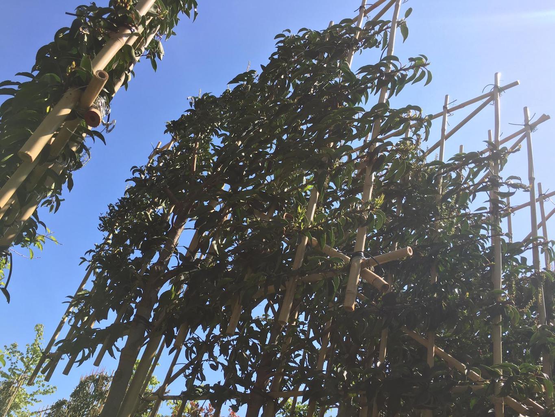 Prunus lusitanica 'Angustifolia' pleached 12-14, 200cm clear stem, frame size 150cm wide x 120cm high (2)