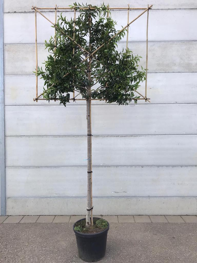 Prunus lusitanica 'Angustifolia' pleached 14-16, 180cm clear stem, frame 150cm (w) x 120cm (h)